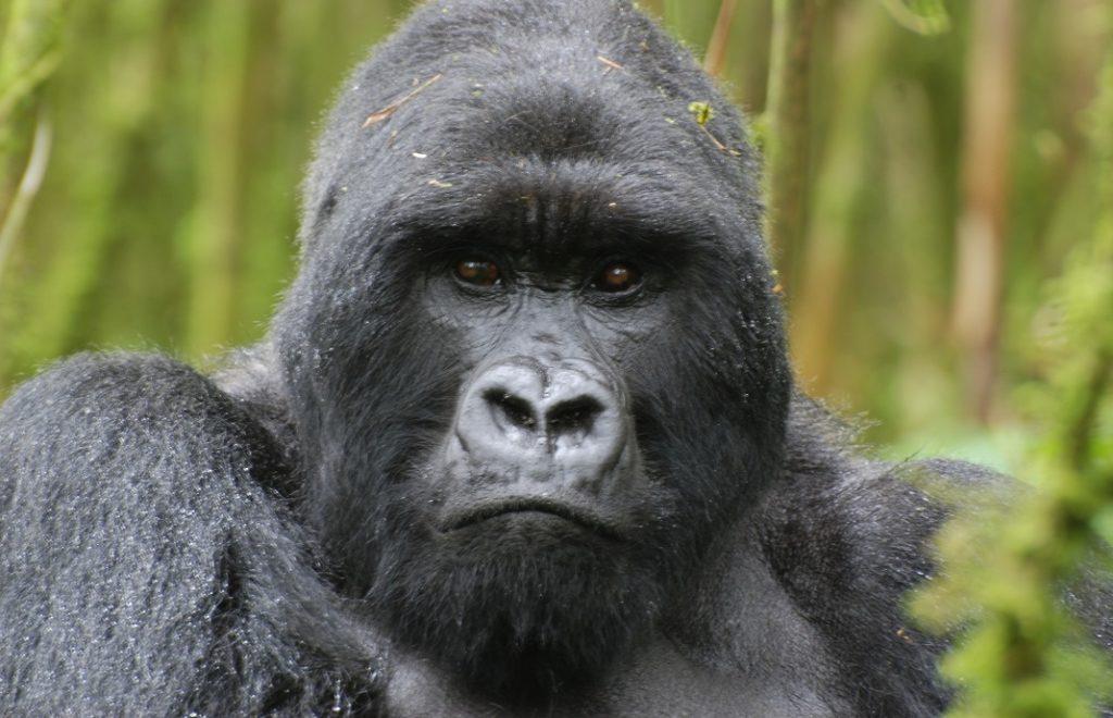 I gorillaens fotspor 1