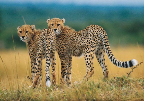 Lake Naivasha og safari i Masai Mara 1
