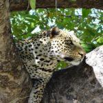 Luangwa nasjonalpark 1