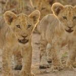 Luangwa nasjonalpark 2