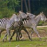 Luangwa nasjonalpark 4