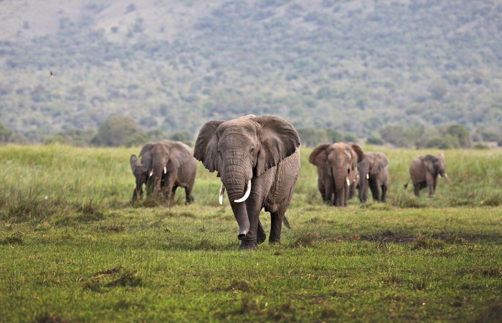A herd of elephant on Kilala Plain