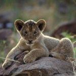 Safari i Zimbabwe 1