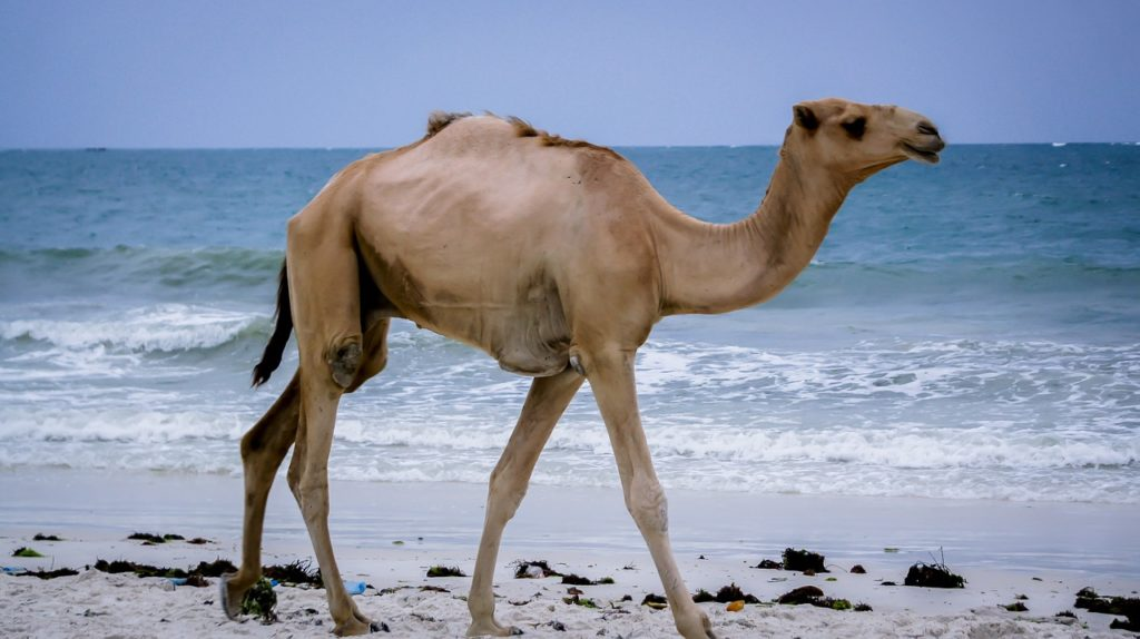 camel-2697605_1280