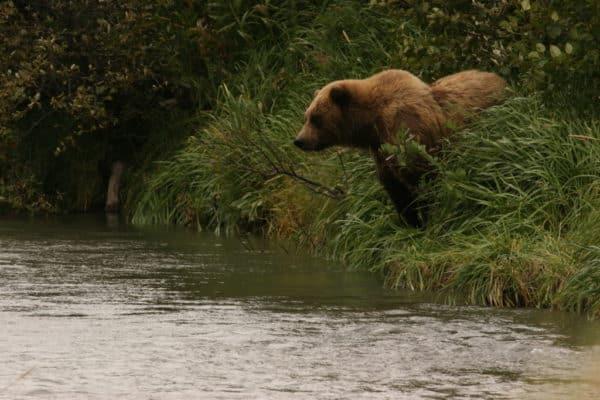 Alaska bear 3
