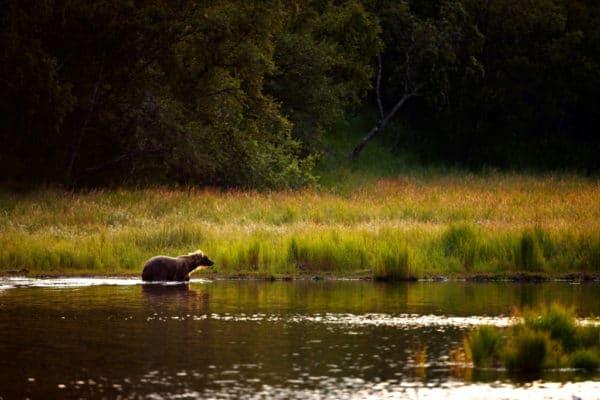Brown bears (grizzlies) Katmai National Park. Alaska