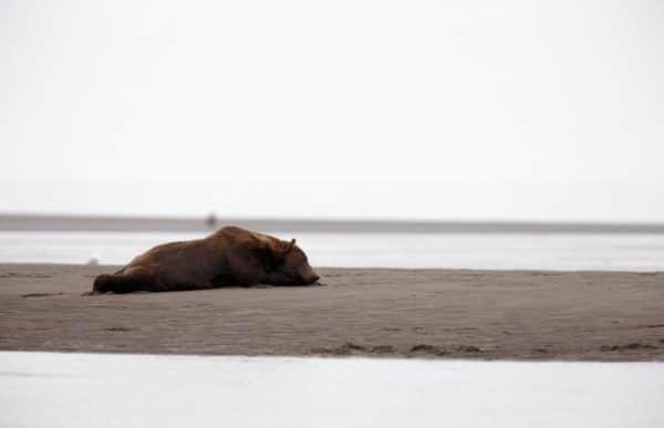 Brown bears (grizzlies) at Silver Salmon Creek, Alaska.