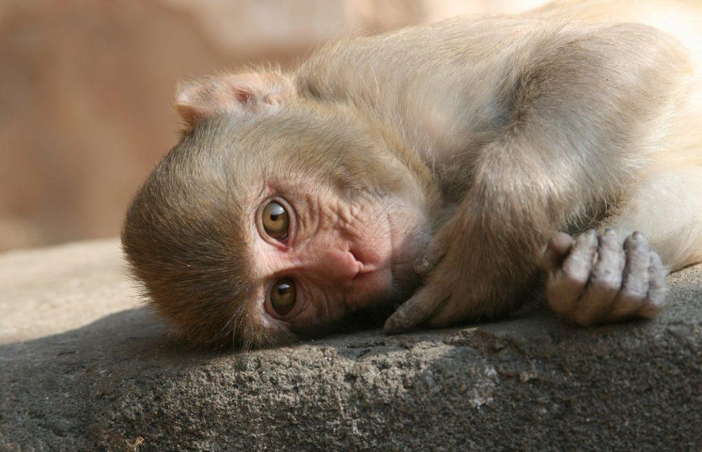 reclining-monkey-3484185_1920