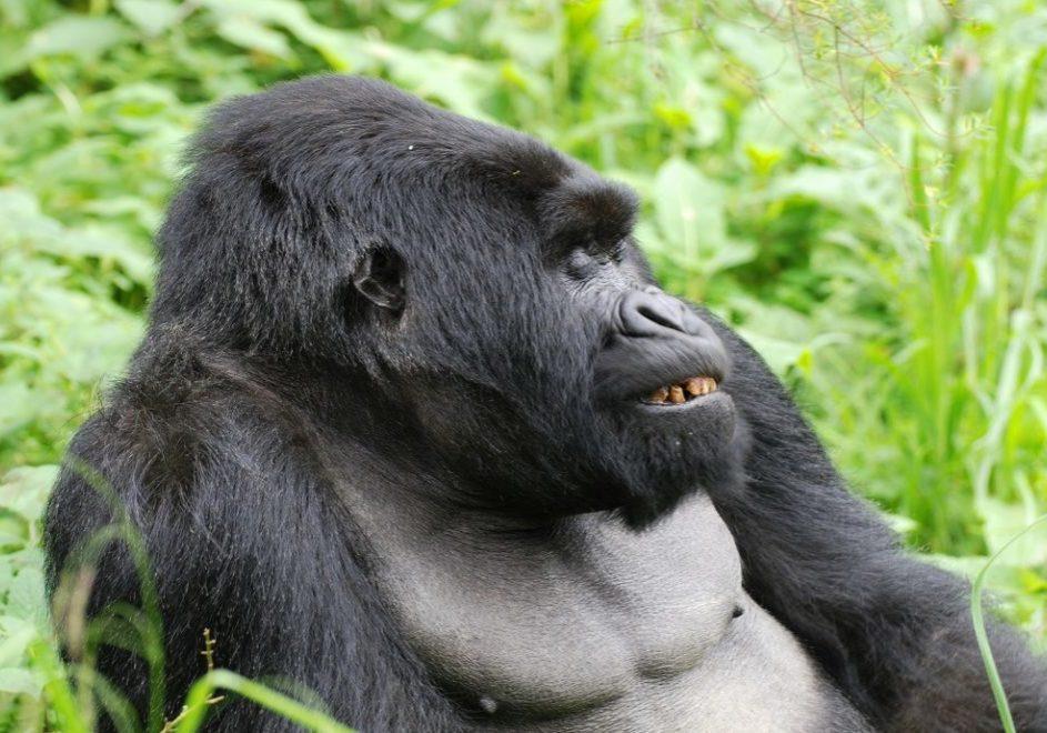 Gorillatrekking 5