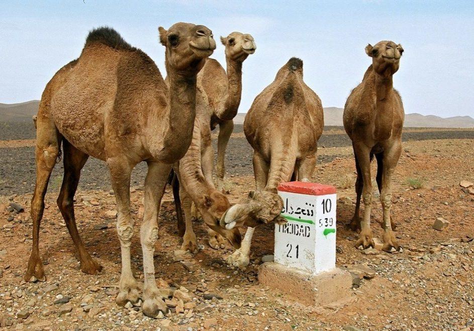 Kamelsafari i Marokko 1