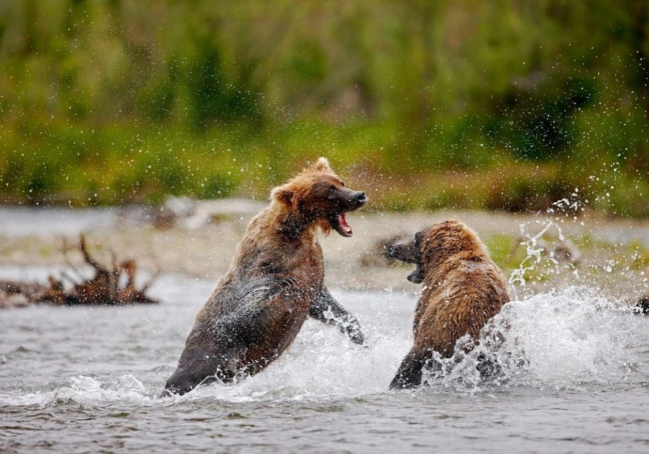 Brown bears (grizzlies) Katmai National Park. Alaska