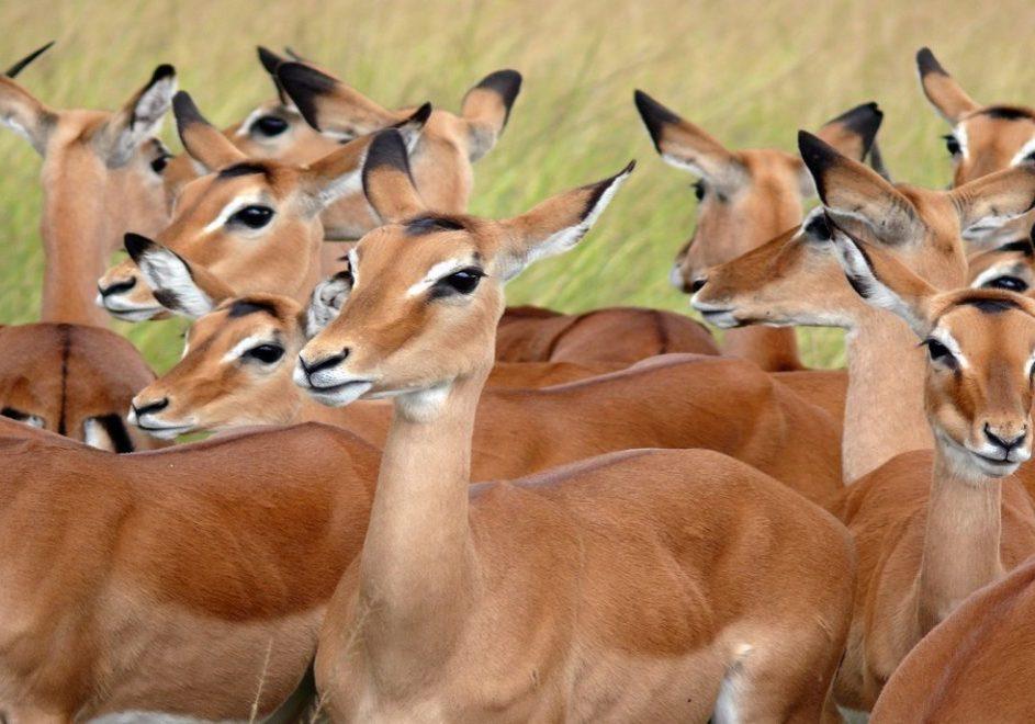 Safari i Akagera nasjonalpark 2