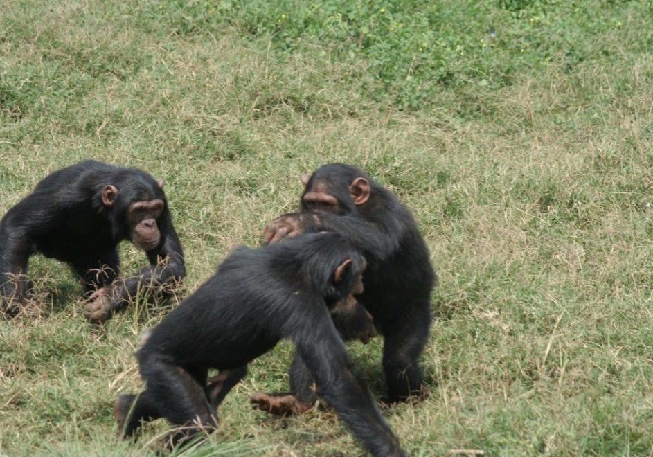 Sjimpansesafari 2