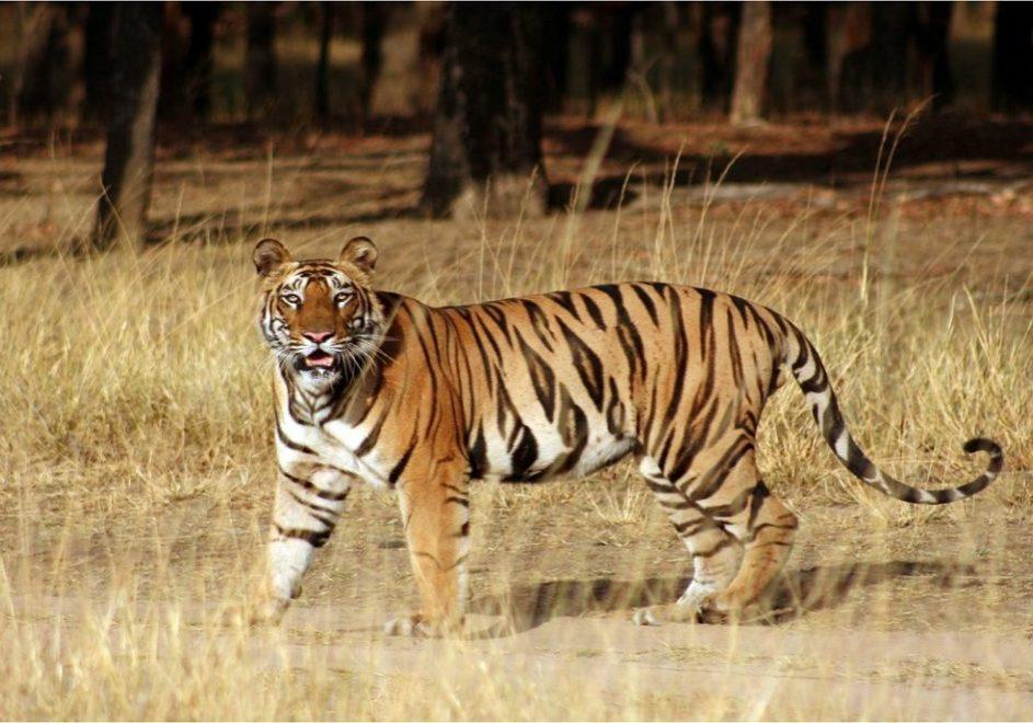 Tiger Safari 2