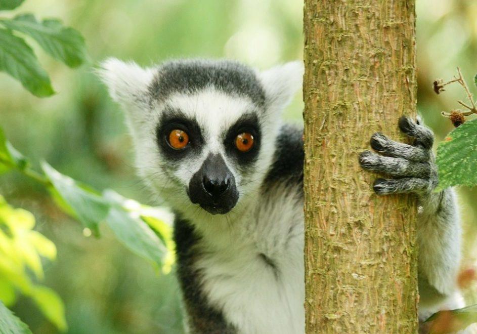 lemur-1252916_1920