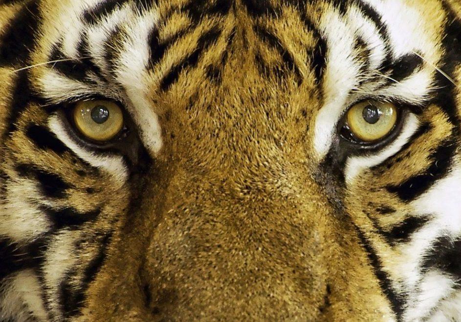 tiger-1155579_1920